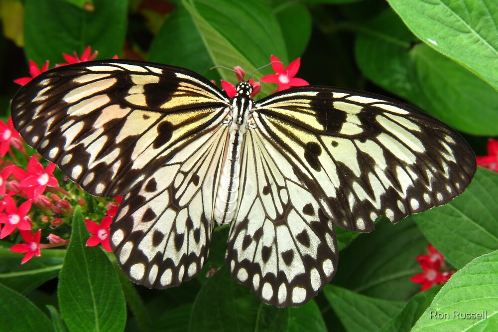 Paper Kite Butterfly by Ron Russell