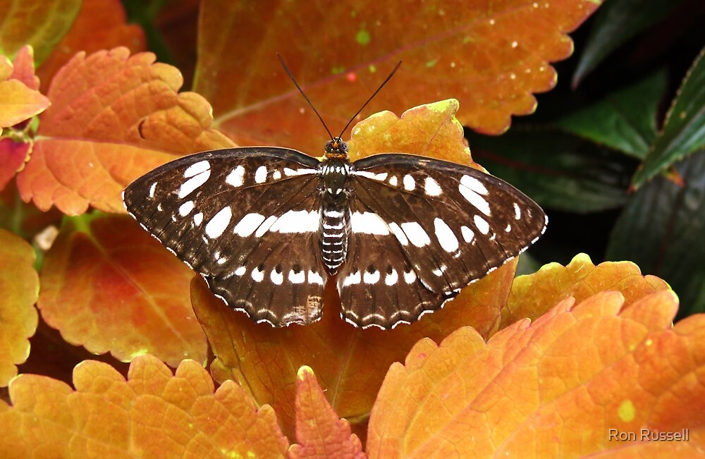 Dot-Dash Sergent Butterfly by Ron Russell
