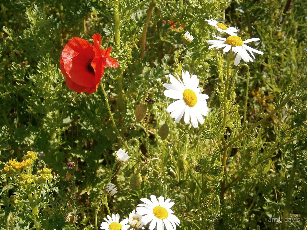 Poppy Field by andy davis