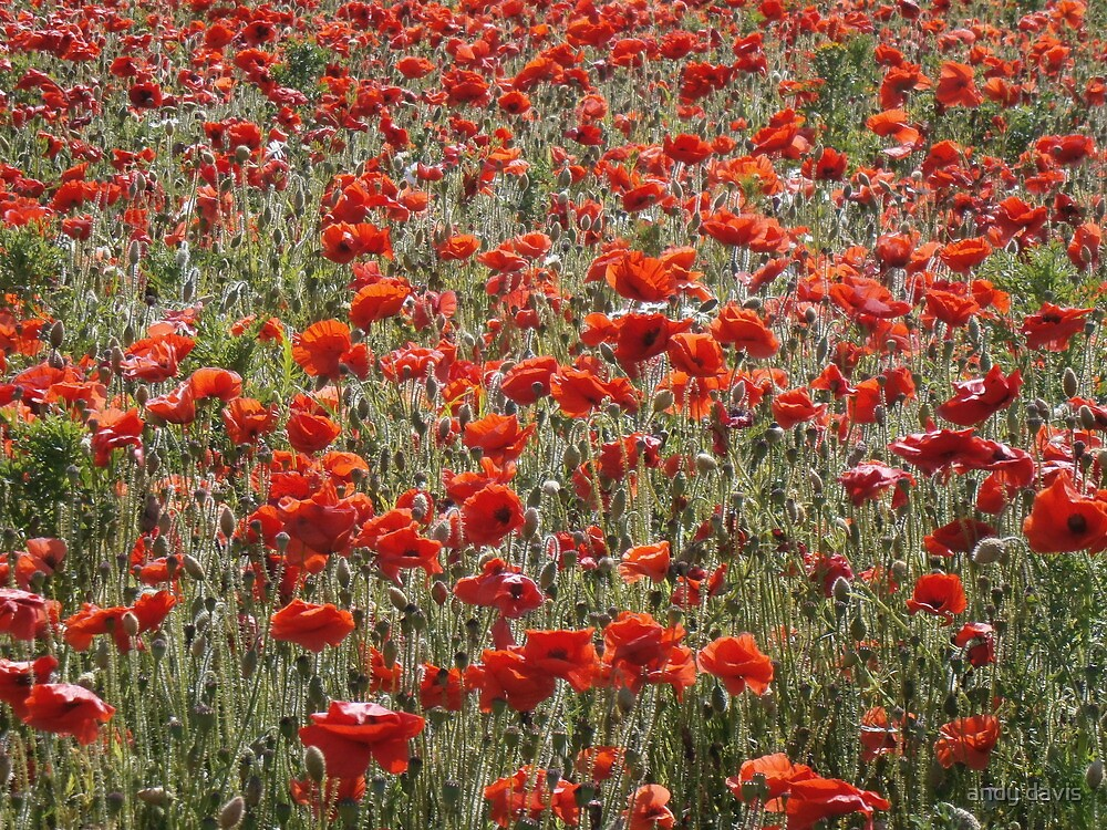 Poppies by andy davis