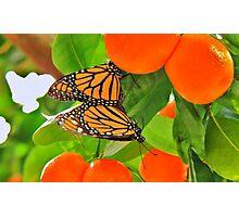 Monarch Love among the Kumquats Photographic Print