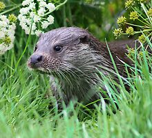 otter in the grass by Brett Watson Stand By Me  Ethiopia
