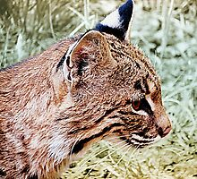 Bobcat With Stealthy Eye by Jean Gregory  Evans