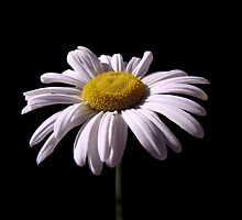 Daisy Mum by David Dehner