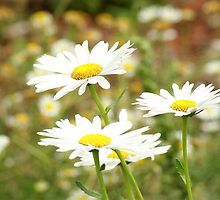 Daisies by TeresaSteward