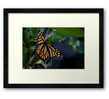 Monarch Butterfly Resting on Leaves Framed Print