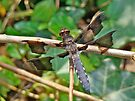 Common Whitetail Dragonfly - Plathemis lydia - Male by MotherNature