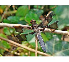 Common Whitetail Dragonfly - Plathemis lydia - Male Photographic Print