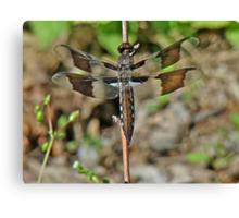 Common Whitetail Dragonfly - Plathemis lydia - Female Canvas Print