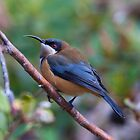Eastern spinebill by tarnyacox