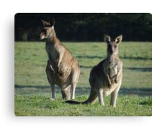 Wild young Kangaroos in the morning sun. Canvas Print