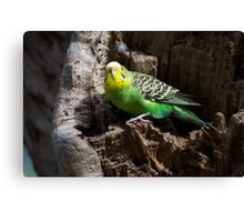 Budgie In Nest Hole Canvas Print
