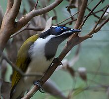 Blue Faced Honey Eater by GP1746