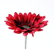 Red Gerbera Daisy by MichelleKeohane