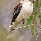 Kookaburra 1 by D-GaP