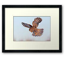 Ural Owl in flight Framed Print