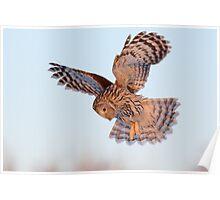 Ural Owl in flight Poster