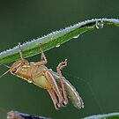 Water drops and a green grasshopper ! by jozi1