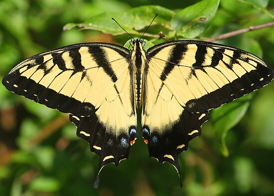 A tiger swallowtail butterfly by jozi1
