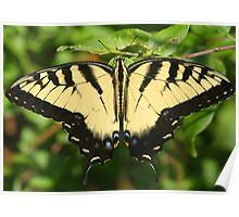 A tiger swallowtail butterfly Poster