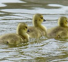 Three Little Gosslings by Tracy Faught