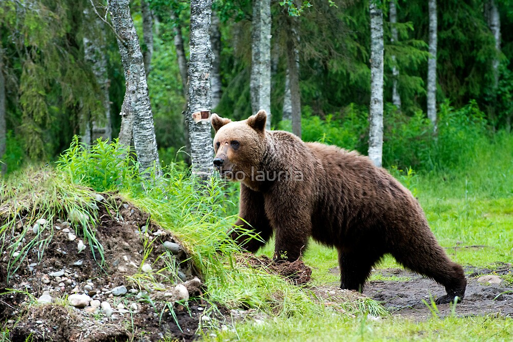 Wild brown bear by ilpo laurila