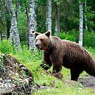 Wild brown bear by ilpo laurila