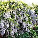 Wonderful Wisteria by missmoneypenny