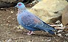 Columba guinea (Speckled pigeon, Rock pigeon) by Elizabeth Kendall
