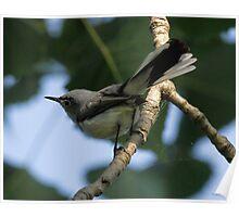 Blue Gray gnatcatcher Poster