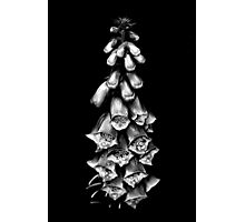 Foxglove - Ding Dong  Photographic Print