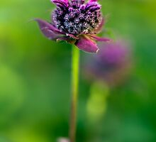 Bee balm having a good hair day by alan shapiro