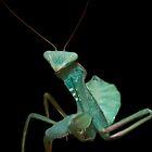 Giant African Praying Mantis by clayton  jordan