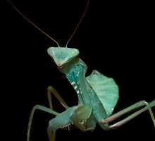 Giant African Praying Mantis by clayton  jordan