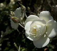 White Rose by thvisions