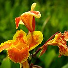 canna lily by thvisions