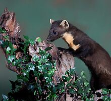 Wild Pine Martin by Ellis Lawrence