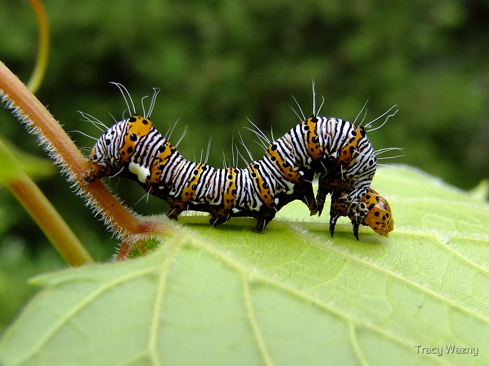 The Hungry Little Caterpillar  by Tracy Wazny