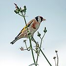 Gold Finch by LisaRoberts