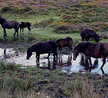 Dartmoor Pony Herd At Watering Hole Near Haytor Late August 2011 by richard wolfe