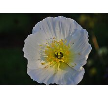 Silken bloom Photographic Print