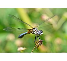 Male Blue Dasher Photographic Print
