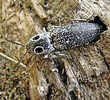Eastern Eyed Elder Click Beetle - Alaus oculatus by MotherNature