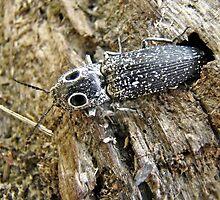 Eastern Eyed Elder Click Beetle - Alaus oculatus by MotherNature
