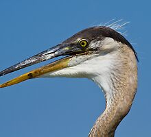 Juvenile Great Blue Heron by Tomas Abreu