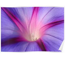 Lilac and Fuschia Morning Glory in Macro Poster