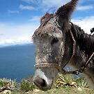 Donkey by dher5