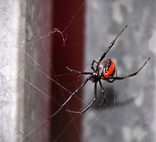 Redback Spider by Ginter
