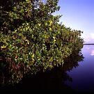 Mangrove by dcdigital