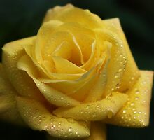 The Yellow Rose by Photokes